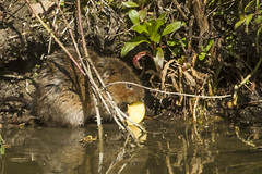 WATER VOLE (_jypictures) Tags: water vole watervole animalphotography animals animal canon7d canon canonphotography wildlife wildlifephotography nature naturephotography