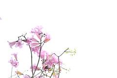 IMG_0713 - 葵芳邨 Kwai Fong Estate (Mak_Ho) Tags: 紅花風鈴木 tabebuiarosea 洋紅風鈴木 葵安樓 kwaionhouse 葵芳邨 kwaifongestate 葵芳 kwaifong 新界 newterritories 香港 hongkong 攝影 photography 植物 vegetation 佳能 canon 700d 花 flower
