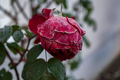 frosty-rose (Janina Kalsch) Tags: frost frosty rose winter eiskristall eiskristalle icechrystal kalt cold macro makro beauty