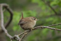 Wren - Troglodytes (Al Glenton - Norfolk images) Tags: troglodytes wren bird birds rspb strumpshaw fen norfolk images al glenton photography canon 5d mk3 70200mm
