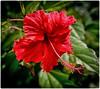 Hibiscus (SamyColor) Tags: hibiscus canoneos20d canoneos28105usm lightroom3 colorefexpro4 color colori colorido colores colours