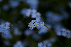 (rosemary*) Tags: 2017 5d tamron90 flower forgetmenot