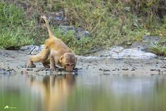 Rhesus Macaque (Tanbeen Amin) Tags: monkey rhesus macaque sundarban sundarbans mangrove mangroveforest swamp swampforest animalplanet animal ngc natgeowild natgeo tamronsp150600mmf563divcusdg2a022 tamron tamronsp150600mmdig2 600mm g2 tanbeenamin khulna forest densed bangladesh drinkingwater carefull tiger royelbengaltiger bengal cat bigcat