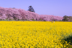 _DSC4448 (sayo-tsu) Tags: sakura cherryblossom saitama gongendopark sattecity 桜 菜の花 お花見 権現堂 埼玉県