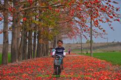 20170408 DSC_6965 (Lin.Jian Liang) Tags: 台灣 taiwan 彰化 溪洲 木棉花 季節限定 西螺大橋 nikon 70200 小黑五 大三元 腳踏車 family ian