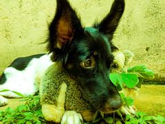 Dog and lucky (Felippe Frigo) Tags: dog cachorro coelho rabbit pelucia trevo lucky sorte planta verde green nikon alegre brasil brazil espirito santo universidade federal do black white bw