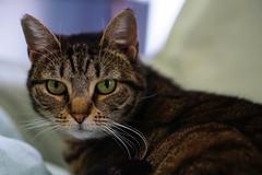 Carol Ann FFF (Light Echoes) Tags: sony a6000 50mm 2017 winter forgottenfelinesandfidos cat chat kot gatto feline pet katze kat kalo котка gato gate gat animal 고양이 γάτα kočka 貓 القط kass kissa חתול बिल्ली miv macska kucing 猫 vighro kaķis katė qattus katten گربه pisica кошка mačka katt แมว kedi кішка بلی mèo cath rescue shorthaitdomestic tabby carolann