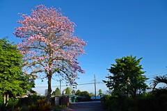 El Roble al Amanecer (Roberto Segura) Tags: roble sabana pink trumpet tree tabebuia rosea bignoniaceae san vito costarica pentax pentaxart pentaxlife ks2