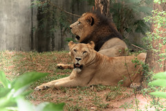 Sakina  with her King (Chandana Witharanage) Tags: srilanka southasia sakina lioness germanytierpark hagenbeckspanthera leo mother