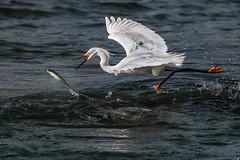The chase (snowy egret and fish) (bodro) Tags: bolsachica snowyegret bird birdfishing birdontherun chase ecologicalreserve fish tiny wetlands