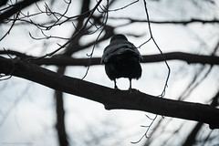 soul searcher (bluechameleon) Tags: sharonwish alone barebranches bird bluechameleonphotography bokeh branches crow feathers nature solitary spring trees vancouver wings ngc