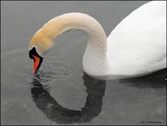 A Ripple in Time (John Neziol) Tags: kjphotography whiteswan nature wildlife ontario outdoors bird water waterfowl birds ripple