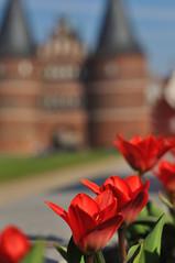 Tulpen (nirak68) Tags: lübeck schleswigholsteinkreisfreiehansestadtlübeck deutschland ger frühling rot weis holstentor tulpe tulipa tulip blüte blossom flower 2017ckarinslinsede 087365