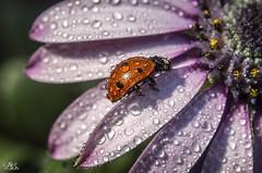 ladybug (Bánhidai Bea) Tags: ladybug insect drops waterdrops macro macrodreams makro raynox