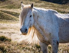 Blondie the Mustang Stallion (Just Used Pixels) Tags: utah wildhorses mustangs westdesert stallions