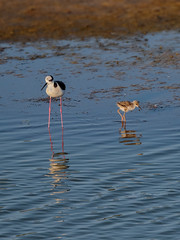 Black-winged Stilt [Perrito] (Himantopus mexicanus melanurus) (Arturo Nahum) Tags: chile aves animal arturonahum ave airelibre birdwatcher bird birds wilflife wild nature naturaleza naturephotography pajaro pajaros