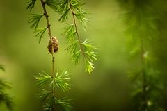 Fir Cones in Soft Light (aveyardphotography) Tags: fir pine cones soft shallow light focus bokeh nature green