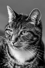 Diesel (-+Niels+-) Tags: cat noiretblanc blackandwhite bw 2470 tamron animal love pet europeanchat