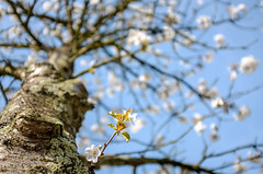 Spring blossom (Wouter de Bruijn) Tags: fujifilm x100t fujinon23mmf2 spring blossom blossoms blossomtree flower flowers nature bokeh depthoffield tree trunk bark middelburg walcheren zeeland nederland netherlands holland dutch