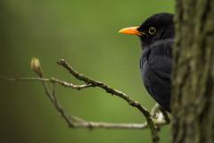 Common blackbird (Ohams) Tags: wildlife animal bird blackbird commonblackbird turdusmerula spring april d7100 sigma150600mms