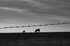 MooBarb (Dannym2000) Tags: barbed wire cows moody