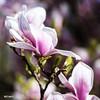 Magnolia #2 (einervonneruhr) Tags: olympus omd em5 mzuiko 75mm f18 nd8 magnolia magnolie nature natur bokeh dof frühling spring 2017 quadrat square 1x1 500x500