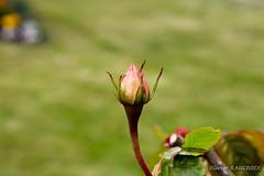 Bouton de rose dans le Parc Saint Pierre