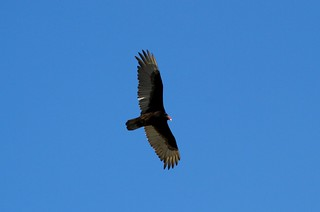 Flight of the Turkey Vulture