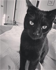 """This is how she says, """"It's time for breakfast. Now."""" #LigerWithThePhotobomb #scullytheblackcat (PTank Media Center) Tags: this is how she says itstimeforbreakfastnow ligerwiththephotobomb scullytheblackcat"""