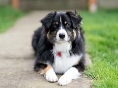 13/52 - Cabin Fever Strikes (jayvan) Tags: dash aussie australianshepherd dog home posed impatient 52wfd 52weeksfordogs portland oregon sony