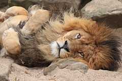 african lion Caesar artis BB2A7274 (j.a.kok) Tags: caesar artis leeuw lion afrikaanseleeuw africanlion pantheraleoleo mammal predator roofdier afrika africa kat cat zoogdier animal dier