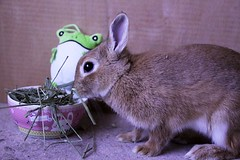 Ichigo san 659 (Ichigo Miyama) Tags: いちごさん。うさぎ ichigo san rabbit bunny netherland dwarf brown ネザーランドドワーフ ペット いちご うさぎ