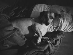 Nutella (glhrme) Tags: dog bed srd serious nexus6p mutt semraçadefinida pet