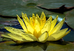 Namaste (Naturali Images) Tags: lilypad lilypond lily flower flowers nature pond yellowflower namaste