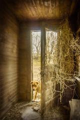 The Guard Dog (Repp1) Tags: canada drake landscape rural saskachewan decay farm ferme délabré door porte dog chien chiendeguarde guarddog vines plantegrimpante