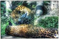 Wild cats (yve_all) Tags: wildlife wildkatze nature natur farben colours zoo licht light blickwinkel view animals tiere