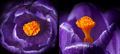 it's official! (marianna_a.) Tags: spring 2017 purple crocus flower macro p1170613 mariannaarmata