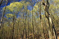 Spring Leaf-Out (7) (Nicholas_T) Tags: pennsylvania clintoncounty waynetownship zindelpark trees forest deciduous temperatedeciduousforest slope spring nature creativecommons