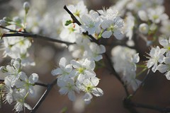 Plum Blossoms HSS (VarietyHour) Tags: slidersunday hss plumblossom outdoor blossom flower tree
