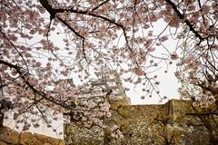 Himeji Castle (moaan) Tags: himeji hyogo japan jp castle architecture sakura cherryblossom cherrytrees spring april utata 2017 canoneos5dsr ef1635mmf4lisusm