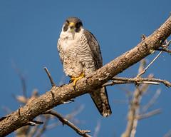 Peregrine Falcon (Becky Matsubara) Tags: bird birds falcon peregrinefalcon pointlobosstatenaturalreserve raptor carmelbythesea falcoperegrinus carmel wildlife avian nature pointlobos birdofprey