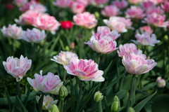 Pink and  White (Bruce Poole) Tags: 2017 brucepoole eastanglia norfolk tulips flowers springflowers tulipa blicklinghall nationaltrust flowerbed heritagetulips blooms pinkandwhite pink white flora floraandfauna roseetblanc jaune printemps