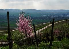 Die Mandelblüte beginnt - It's  almond blossom time (cammino5) Tags: april 2017 thüngersheim weinberg vineyard mandelblüte almondblossom franken franconia
