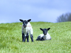 Lambs (CJPhotography UK) Tags: nature natur natural sheep lamb mammal lambs spring animal fur fluffy cute baby babyanimal sky blue green grass landscape canon telefoto outdoors light lighting sun sunlight countryside babies