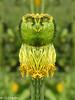 (christine chardon) Tags: fleurs flowers flores fiori innommés creatureart creaturedesign creation creature nature plante botanic photoart masque personnage fantastique mysterious printemps spring jaune anémone totem