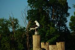 Lake Champlain (Listeral Mac) Tags: grandisle vt vermont lakechamplain seagull gull dock tree green animal bird