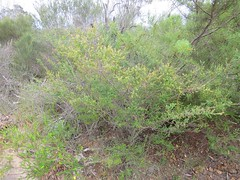 Leptospermum rotundifolium 6 (barryaceae) Tags: booderee avenue hyams beach jervis bay national park nsw australia aushp heath plant ausheathplant