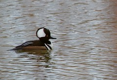 Hooded Merganser (praja38) Tags: hoodedmerganser seaduck duck bill male beak capricorn caps cap life wildlife wild humour marsh nature animal feathers feather lynde shores lyndeshores conservationarea
