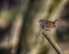 Wren (Osgoldcross Photography) Tags: bird wren perched stick wood sun sunlight winter feathers plumage head wings small tiny delicate rspb rspboldmoor nikon nikond810 raw nature naturalhistory