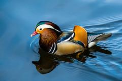 (Femme Peintre) Tags: ente tier animal natur outdoor mandarinente mandarin duck fantasticnature coth5